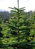 albero dell'azienda agricola Fotografia Stock Libera da Diritti
