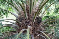 Albero dell'olio di palma, industriale di agricoltura e bioenergia Immagini Stock Libere da Diritti