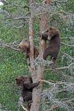 albero dell'orso grigio dei 2 3 cubs Immagine Stock Libera da Diritti