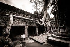 Albero dell'AT Prohm, Angkor Wat Fotografia Stock Libera da Diritti