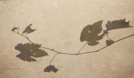Albero dell'uva Fotografia Stock