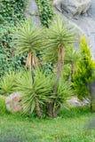 Albero dell'yucca su un fondo delle pietre fotografie stock