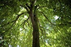 Albero della castagna d'India Fotografia Stock