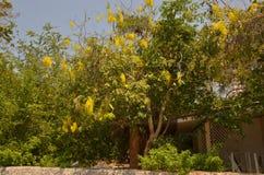 Albero della catena dorata & x28; Anagyroides& x29 di maggiociondolo; Immagine Stock