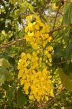 Albero della catena dorata & x28; Anagyroides& x29 di maggiociondolo; Fotografia Stock