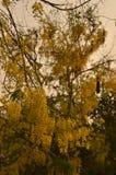 Albero della catena dorata & x28; Anagyroides& x29 di maggiociondolo; Immagini Stock