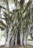 Albero della città di Suva fotografia stock