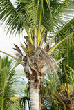 albero della Coco-palma contro cielo blu Fotografia Stock