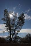 Albero della conifera contro il sole con le nuvole fotografia stock libera da diritti