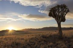 Albero della faretra di tramonto del Namibia Fotografia Stock