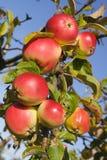 albero della filiale della mela Immagine Stock