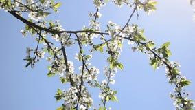 Albero della fioritura della passeggiata del rinforzo video d archivio
