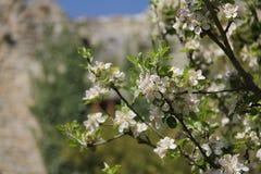 Albero della fioritura di Apple fotografia stock libera da diritti