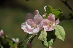 Albero della fioritura di Apple fotografie stock libere da diritti