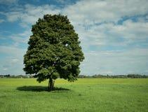 Albero della foglia su un campo verde Immagini Stock
