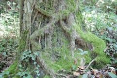 Albero della foglia della Toscana della foresta fotografia stock libera da diritti
