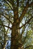 Albero della ghianda della corteccia della quercia di Holm un giorno soleggiato fotografia stock