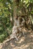 Albero della giungla Fotografie Stock