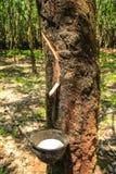 Albero della gomma Fotografia Stock
