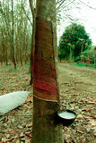 Albero della gomma Fotografie Stock