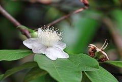 Albero della guaiava di Apple in fioritura Fotografia Stock Libera da Diritti