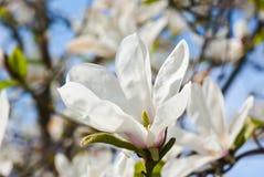 Albero della magnolia Fotografie Stock