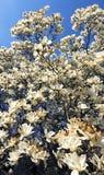 Albero della magnolia Immagini Stock