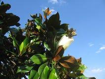 Albero della magnolia Immagini Stock Libere da Diritti