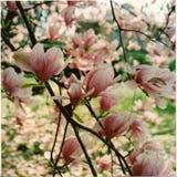Albero della magnolia che fiorisce sulla molla immagine stock