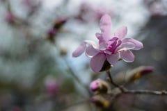 Albero della magnolia con il fiore in primavera Fotografia Stock