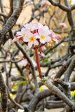 Albero della magnolia in piena fioritura immagine stock libera da diritti