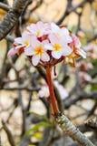 Albero della magnolia in piena fioritura fotografia stock libera da diritti