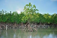 Albero della mangrovia Fotografie Stock Libere da Diritti