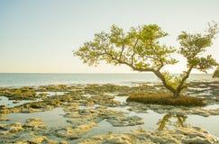Albero della mangrovia Fotografia Stock
