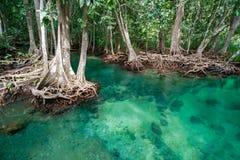 Albero della mangrovia Fotografia Stock Libera da Diritti