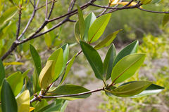 Albero della mangrovia immagine stock