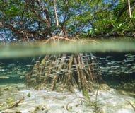 Albero della mangrovia in acqua sopra e sotto la superficie del mare Fotografia Stock Libera da Diritti