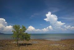 Albero della mangrovia alla marea bassa Fotografia Stock Libera da Diritti