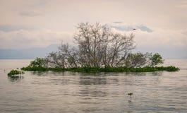 Albero della mangrovia di balinese Fotografia Stock