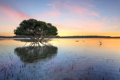 Albero della mangrovia e egretta bianca Fotografie Stock