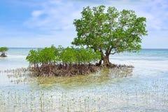 Albero della mangrovia. Isola di Siquijor, Filippine fotografia stock libera da diritti