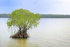 Albero della mangrovia, mucronata del Rhizophora Immagine Stock