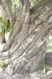 Albero della menta piperita in re Park - Perth - Australia fotografie stock libere da diritti