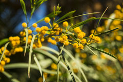 Albero della mimosa Immagini Stock