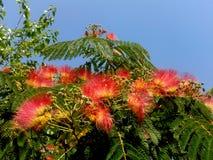 Albero della mimosa Fotografie Stock