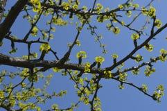 Albero della molla di Ð'eautiful Fotografie Stock Libere da Diritti