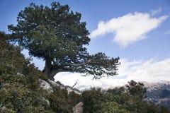 Albero della montagna Immagine Stock