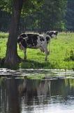 albero della mucca sotto Immagine Stock Libera da Diritti