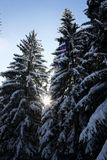 Albero della neve Fotografia Stock Libera da Diritti