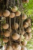 Albero della palla di cannone Fotografia Stock